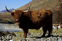 Scottish Highland Cow