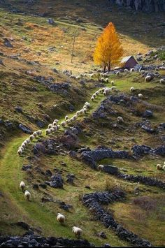 Ireland, baa!baa!sheep following sheepTwo lonely trees with Autumn foliage standing like sentinels near barn.