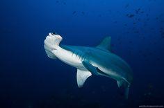 Scalloped Hammerhead. #sharks