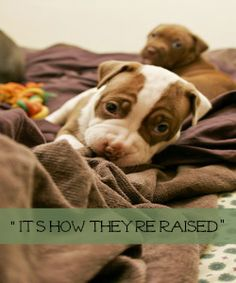 """Pit Bull Myths: """"It's How They're Raised."""" 