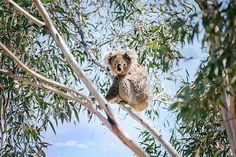 Court OKs the Destruction of Koala Habitat for a Giant Coal Mine The Chinese-owned project could kill hundreds of the marsupials in one of Australia's most fertile agricultural regions. http://www.takepart.com/article/2016/02/19/australian-court-permits-coal-mine-destroy-home-hundreds-koalas?cmpid=ait-fb