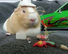 This is my guinea pig dressed as Hunter S Thompson. She and her sister wear lots of hats on their FB page The Weekly Squeak. #guineapigs #HunterSThompson #TheWeeklySqueak