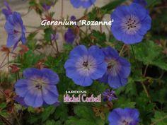 Le choix des experts JMC 2014 (catégorie « les performantes »). Le genre Geranium accueille un grand nombre d'espèces et de cultivars dont plusieurs pourraient faire l'objet d'une sélection dans la catégorie des plantes « performantes ». L'hybride 'Rozanne' (syn. 'Gerwat') est un plant d'environ 40 à 50 cm de hauteur et de 60 à 70 cm de diamètre; il est rustique jusqu'en zone 4. Les feuilles sont découpées, d'un vert foncé, quelquefois marbrées. Les... Genre, Orange, Gardens, Growing Up, Deep Blue, Leaves, Flowers, Perennial Plant