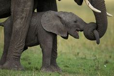 """<-- Elephants apparently also try the """"got your nose"""" trick on their children."""