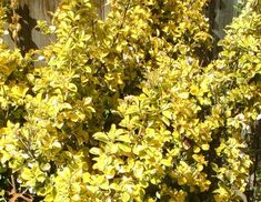 Euonymus fortunei 'Emerald'n Gold' Garden Plants, Planting, Emerald, Fruit, Gold, Gardens, Charcoal Picture, Plants, Emeralds
