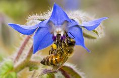 Borage, though not the most recognizable of useful (and edible) weeds, is an absolutely fantastic plant to include in the garden.