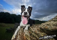 Border Collie x Staffy - Funny Dog Photo - Photo Session Outtakes Funny Dog Photos, Funny Dogs, Dog Photography, Border Collie, Photo Sessions, Boston Terrier, Your Dog, Animals, Funny Dog Pictures
