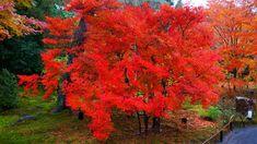 迫力満点の圧巻のドウダンツツジの紅葉