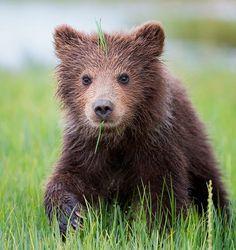 Sprouting bear cub, Alaska. By Tin Man Lee.