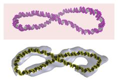 "Supercoiled DNA is far more dynamic than the ""Watson-Crick"" double helix"