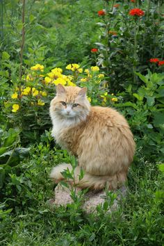 Most Beautiful Animals, Beautiful Cats, Cute Kittens, Cats And Kittens, Chats Tabby Oranges, Orange Tabby Cats, Tier Fotos, Ginger Cats, Maine Coon Cats