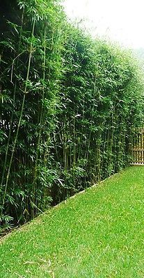 Silverstripe Bamboo 20 Bareroot Divisions Bambusa Multiplex Clumping Will Not Become For A Short Time Each Year