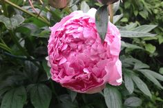 Light red peony: like a ballet dancer