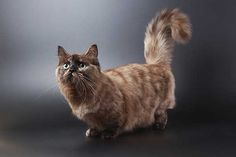 Pictured here is a long-haired Munchkin cat. If you choose to get a long-haired … Pictured here is a long-haired Munchkin cat. If you choose to get a long-haired cat, you'll need to groom him regularly to keep his fur from becoming matted. Gato Munchkin, Gatos Cat, Cats 101, Cat Whisperer, F2 Savannah Cat, Japanese Cat, Photo Chat, Matou, Brown Cat