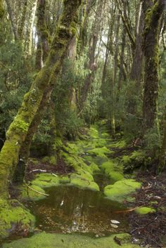 A stream in the King Billy Pine forest in the rain, Cradle Mountain nNational Park.