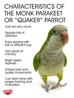 Learn about the Monk Parakeet. These unique birds require attention and loving c… – Bird Supplies Parakeet Cage, Parakeet Toys, Monk Parakeet, Blue Parakeet, Fancy Parakeet, Parrot Pet, Parrot Toys, Parrot Bird, Beautiful Birds