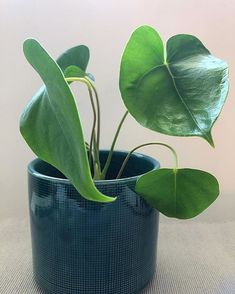 💚 #leafs #foliage #plantlover #plants #indoorplants #greenbeauty #growing #indoorgardening #plantstagram #instaplant Indoor Plants, Lotus, Plant Leaves, Instagram, Lily, Lotus Flower