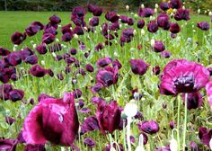 Laurens Grape poppies.  More from Barbara's garden in Alaska - Fine Gardening