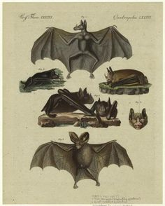 True vampire; Leaf-nosed; Shovelnose; Spearnose; Heartnose. (1792-1893)