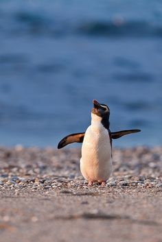 Fiordland Crested Penguin, New Zealand by *amy, via Flickr
