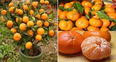 Comment faire pousser mandarines dans pot de fleurs