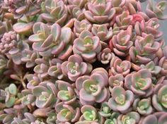 Nome científico: Sedum pluricaule (Foto: Reprodução/SedumPhotos)
