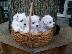 Colt, Win Win & Belle   cutest Maltese puppies ever!!!