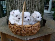 Colt, Win Win & Belle   cutest Maltese puppies ever!!!