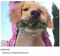 43 Golden Retriever Photos That Will Crack You Up Animals And Pets, Baby Animals, Funny Animals, Cute Animals, Love My Dog, Cute Puppies, Cute Dogs, Dogs And Puppies, Doggies