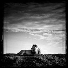 Lion sur son rocher