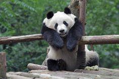 #panda #pandaa