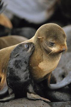 **A northern fur seal pup nuzzles its mother  (by Joel Sartore)