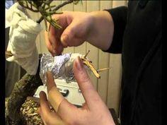 Tvarujeme bonsay - YouTube