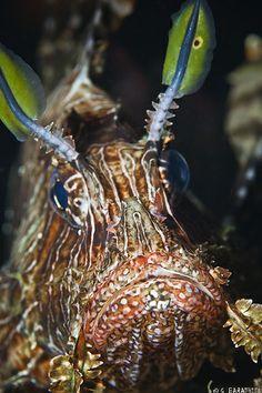 ˚Lionfish Weird Fish, Sea Fish, Underwater World, Underwater Photography, Close Up, Waves, Ocean, Animals, Pisces