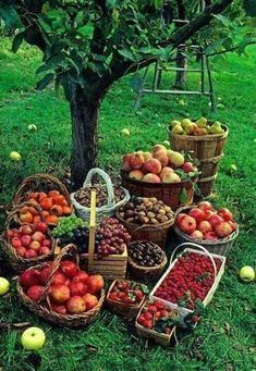 Fall harvest baskets of fruit: apples, grapes, nuts and berries in apple orchard. This is what it's all about, a great harvest. The Farm, Mini Farm, Harvest Time, Fall Harvest, Bountiful Harvest, Apple Harvest, Harvest Season, Harvest Basket, Basket Of Fruit