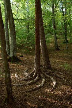 insolite arbre racine spirale