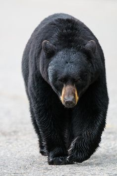 American Black Bear, Jasper National Park, Alberta, Canada; photo by Brandon Smith