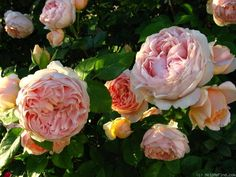 'Ambridge Rose ' Rose Photo