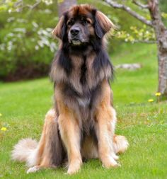 If we ever get a big dog, the Leonberger will be it!!!  Love, Love, Love this dog!!!