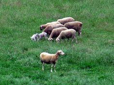 """Observador de corderos - y el """"chivato"""" observa"""