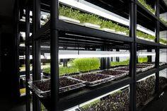Obitelj Butković, koja djeluje pod nazivom Kliconoša, sve uspješnije razvija svoj biznis, uzgoj brokule, cikle, rotkvice... i to u zatvorenom prostoru!