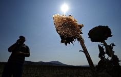 8/6/12, Climate Change and the Food Supply By JUSTIN GILLIS  A farmer sampled sunflowercrops lost to the heat in Ergelija, an Albanian village, in late August. Hundreds of wildfires have raged in the western Balkans recently.