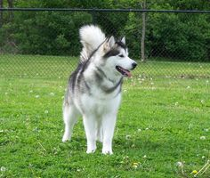Alaskan Malamutes most beautiful dog Malamute Puppies, Alaskan Malamute, Husky Puppy, Husky Mix, Big Fluffy Dogs, Big Dogs, Shiba Inu, Akita, Wolf Husky