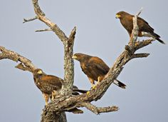 A group of hawks are known as either a boil, cast or kettle.