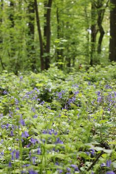 Bluebell blooms in Belgium Photo Diary
