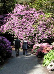 Riesige Rhododendron im Park in Gristede
