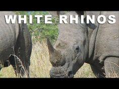 Wild Facts -- White Rhino