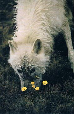 "White wolf with flower.The Lupine Flower is named after ""Lupus"" the Latin word for wolf. Beautiful Creatures, Animals Beautiful, Cute Animals, Wild Animals, Wolf Spirit, Spirit Animal, Der Steppenwolf, Canis Lupus, Arctic Wolf"