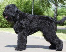 Black Russian Terrier Black Spot, Big Black, Wolf's Lair, Black Mouth Cur, Black Russian Terrier, Dead Hair, Companion Dog, Terrier Puppies, Dry Dog Food