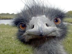 #Olio di #Emu per #proteggere l' #intestino anche dalla #chemioterapia - #salute #animali